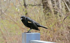 RED-WINGED BLACKBIRD ( MALE ) at the VISITATION NATURE-CENTER in MONTREAL ( Quebec ) CANADA (Guy Lafortune) Tags: bird oiseaux clôture ciment fence forest forêt trees arbres branch branche aile bec beak blackbird red wing