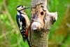 Great Spotted Woodpecker (robin denton) Tags: dendrocoposmajor adeldam woodpecker greatspottedwoodpecker yorkshirewildlifetrust wildlifetrust bird nature wildlife yorkshire hdr