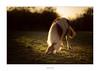 Please, there's no need to bow! (AnthonyCNeill) Tags: horse pferd shetland pony caballo cheval evening light outdoor animal