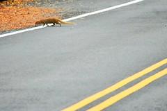 Mongoose (thomasgorman1) Tags: invasive species animal mongoose mammal hawaii nature nikon island lines weasel pest