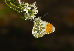 Orange-tip --- Anthocharis cardamines (creaturesnapper) Tags: maplelodge insects europe uk butterflies lepidoptera pieridae orangetip anthochariscardamines