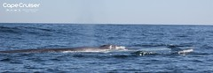 Balaenoptera physalus (Cape Cruiser Sagres) Tags: whalewatching whales finwhale dolphinwatching wildlife marinelife marinemammal algarve actividadesdenatureza natureactivities baleia ballenas baleiacomum observaçãodegolfinhos observação de baleias