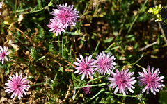 Flowers 135 (orientalizing) Tags: desktop featured flowers greece mani pepon plants southernpeloponnese