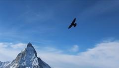 Punta del cervino (JadePhotoJG) Tags: cervino zermatt volare neve inverno ali cielo sky uccello bird montagna mountain paesaggio oseau himmel flying