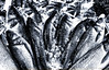 sea bass (amazingstoker) Tags: sea bass fish ice market london langoustine borough food