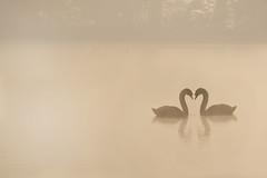 morning romance (jeff.white18) Tags: swan muteswan mornning nature langford wildlife water silhouette reflection nikon flickr