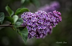May 12, 2018 - Gorgeous Sensation Lilac. (Michelle Jones)