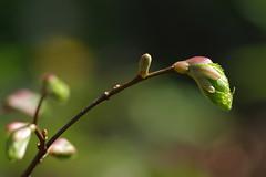 Pärnaoksake (Jaan Keinaste) Tags: pentax k3 pentaxk3 eesti estonia loodus nature pärnaoks pärn tilia pung bud kevad spring jupiter37a