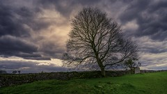 Solitary tree (Dannis van der Heiden) Tags: solitarytree tree stonewall grass clouds rain dark foolow rainclouds rock sky peakdistrict england drama landscape spring nikond750 d750 tokina1628mmf28