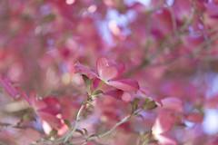 tickled pink (charhedman) Tags: pinkdogwoodtreeinourfrontyard tickledpink dogwood sooc pink bluesky ishotthislookingstraightupintothetree bokeh