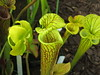 S. flava var. ornata improved black veins 'select clone (meizzwang) Tags: s flava var ornata improved black veins select clone trumpet pitcher plant insect eating carnivorous cultivation outdoors northern california mike wang sarracenia yellow