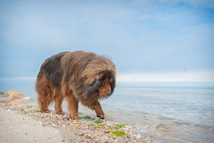First Steps in the Ocean (learnliveinspire) Tags: mansbestfriend dogs dog tibetan mastiff pets pet love beach long island ny