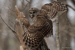 A good spread. (Earl Reinink) Tags: owl predator raptor woods forest bird animal barredowl nature wildlife earl reinink earlreinink wings rhotaaodza