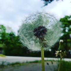 dandelion (noisy__nisroc) Tags: dandelion flower makeawish mobil