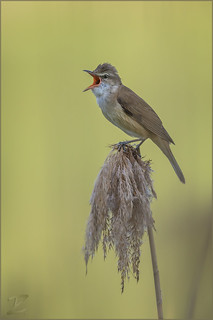 Drosselrohrsänger (Great reed warbler)