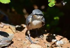 Western Rock Nuthatch (orientalizing) Tags: animals birds fresh greece juvenile kokkala mani southernmani southernpeloponnese westernrocknuthatch