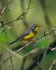 Canada Warbler (Jacob Valerio) Tags: jake valerio jacob nikon d800 ohio oak openings canada warbler