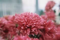 (Hsien hui Tsai) Tags: film filmphotography photography nikon nikonem em kodak kodakcolorplus flower japan osaka hana 菊 plant pink 2018