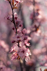 blossoms (janiiboy86) Tags: flora blooming blossoms spring springtime light sun sunbeams stuttgart germany flowers soft pink fragile