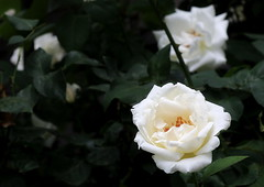 White Beauty (superhic) Tags: white rose flower garden ruža bela cvet