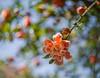 (nadiaorioliphoto) Tags: flower fiore bokeh profonditàdicampo melograno