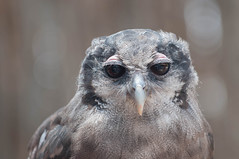 Thatcher the Milky Owl. (LisaDiazPhotos) Tags: thatcher milky owl frequentflyerbirdshow lisadiazphotos sdzsafaripark sdzoo sdzsp sandiegozoo sandiegozooglobal sandiegozoosafaripark