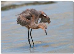 Immature Reddish Egret (Betty Vlasiu) Tags: immature reddish egret egretta rufescens bird nature wildlife florida