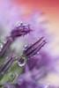 rainy day... (MikaJC) Tags: ourgarden flowers raindrops azalea
