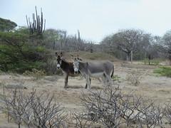 Bonaire 2018 (Valerie Hukalo) Tags: âne donkey bonaire antilles caraïbes paysbas nature valériehukalo hukalo