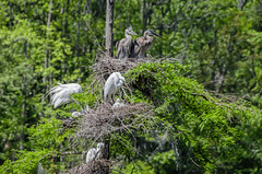 """The Heron Rookery"" (Photography by Sharon Farrell) Tags: historicplantation magnoliaplantationandgardens historicmagnoliaplantationandgardens ricefieldboattour charleston charlestonsouthcarolina charlestonsc charlestowne southcarolina southernliving southernbeauty southernplantation ashleyriver ashleyriverboattour"