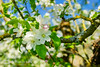 Kirschblüten (Markus Lenz) Tags: bildgestaltung blüten bäume details eigene einrichtung farben fotografie gehege genre haustiere kaninchen kirschbaumblüte kirschblüte kirsche obstbäume pflanze pflanzen pflanzenfotografie tiere weiss weis