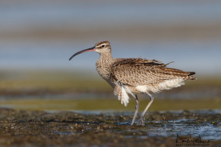 Whimbrel pit stop in SW FL