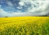 Yellow field (Katarina 2353) Tags: katarina2353 katarinastefanovic
