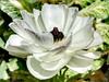 Dusty White (Robert Cowlishaw (Mertonian)) Tags: white sundaywalk blossom macro flower robertcowlishaw canonpowershotg1xmarkiii markiii g1x powershot canon purpleedges beauty beautiful wonder awe ineffable praise elegant mertonian