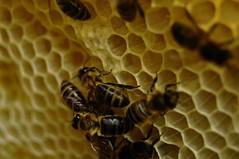 (Marcin Szczęsny) Tags: bee bees beekeeping beekeeper beehive hive pszczoła pszczoły pszczelarstwo pszczelarz ul wieś polska poland village