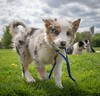 Walking the Dog (explore) (Chris Willis 10) Tags: puppy star walk dogs bordercollie weimaraner play field
