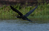 Little Cormorant / ছোট পানকৌড়ি (polen2003) Tags: black flyeing bird wildlife nature beaty lakeside