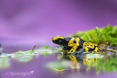 Rana dardo o sapito minero/ Poison dart frog (Dendrobates leucomelas) (Jacobo Quero) Tags: dendrobatidae dendrobatesleucomelas poisondartfrog ranadardo sapitominero wildlife nature naturaleza herping amphibia anfíbio