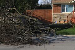 "Timber !!! (Xsbmrnr (Please read profile before ""following"") Tags: canon canoneos7d canon7d canondslr eos7d eos f hamilton hamiltonontario hamont nature photojournalism storm wind winddamage"