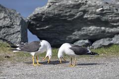 Seagull in spring mood (G E Nilsen) Tags: seagull spring mood seabird brønnøy norway nordnorge northernnorway norwegiancoast blackbacked gull svartbak