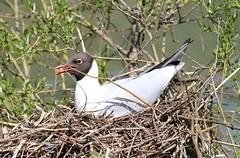 Nesting Black-Headed Gull! (RiverCrouchWalker) Tags: blackheadedgull nest nesting arundelwwt chroicocephalusridibundus gull may 2018 spring arundel westsussex bird uk
