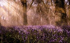 bluebell beams (jeff.white18) Tags: bluebells flowers woodland sunrays nature light nikon flickr