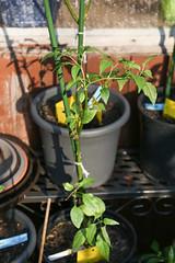 Überwinterte Chili Cayenne (blumenbiene) Tags: chilipflanze chilipflanzen chili chilli chillie chilie plant plants pflanze pflanzen garten garden pepper peppers outdoor überwinterung overwinter hibernate überwintern