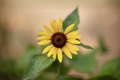 Afternoon  Sunflower (hasham2) Tags: flower sunflower light bokeh dof canon 5dmk2 youngnou 00mm