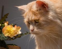 Wow, my begonia is flowering ! (FocusPocus Photography) Tags: linus katze kater cat chat gato tier animal haustier pet begonie begonia blume flower