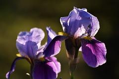 Les Iris, fleurs de charme (Excalibur67) Tags: nikon d750 sigma contemporary 100400f563dgoshsmc flowers fleurs nature coth5