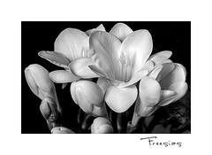 Freesias (Gérard Boisnard) Tags: nature fleurs flore flowers freesias macro bouquet boisnard