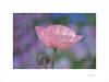 Flores de papel (E. Pardo) Tags: flores flowers blumen amapolas poppys mohnblumen colores colors farben luz licht light belleza beauty schönheit stiftadmont admontabbey abadíaadmont admont steiermark austria