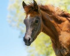 Are you friendly ? (FocusPocus Photography) Tags: pferd fohlen horse foal araber araberfohlen arabian arab tier animal marbach hauptundlandgestüt