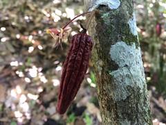 Theobroma cacao, PermaTree, Ecuador (yago1.com) Tags: cacao ecuador permatree zamorachinchipe amazonico